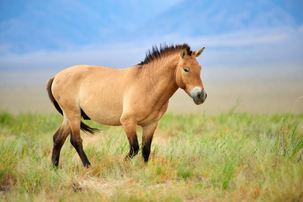 Tout sur le cheval de Przewalski