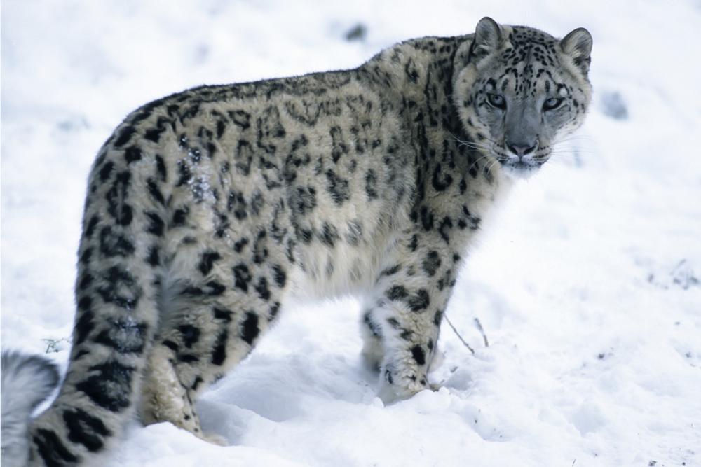 Tout sur le léopard des neiges, animal sacré du Kirghizistan