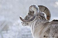 Les animaux emblématiques du Kirghizistan
