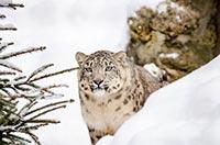 leopard neige