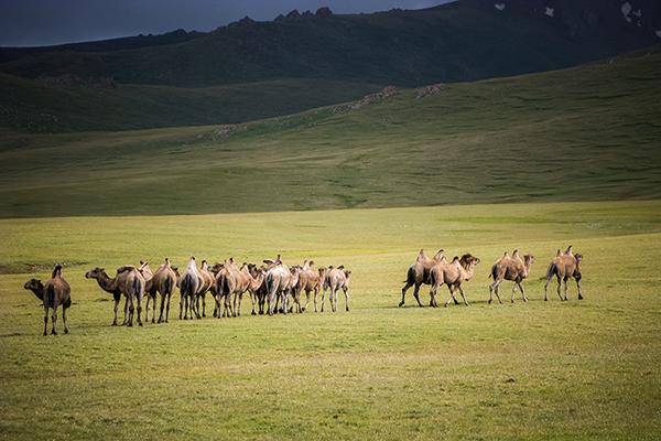 chameau Kirghizistan