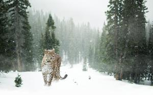 léopard neige